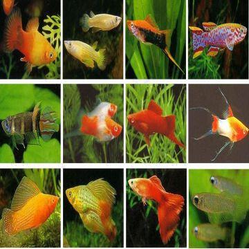 Live ornamental freshwater livebearer fish global sources Livebearer aquarium fish