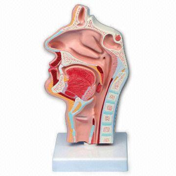 Modelo de la cavidad nasal, convenientes para farmacéutico, el ...