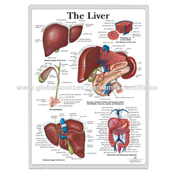 Liver 3D Anatomical Charts | Global Sources
