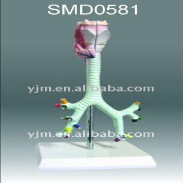 Anatomical model, Medical model,trachea,larynx,trachea,bronchus and ...