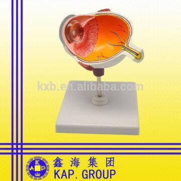 GIF médico modelo educativo de la promoción de la anatomía del ojo ...