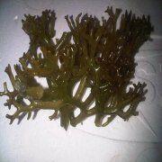 Wholesale kab-kab seaweed, kab-kab seaweed Wholesalers