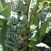 Banana fruit from China (mainland)