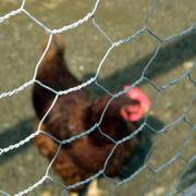 Low price chicken coops wire mesh netting Hebei Zhengjia Wire Mesh Manufacture Co. Ltd